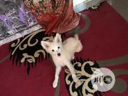 Baby Female Purebred Samoyed   Dogs & Puppies for sale in Abuja (FCT) State, Gwagwalada