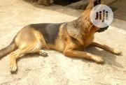 Senior Female Purebred German Shepherd Dog   Dogs & Puppies for sale in Abuja (FCT) State, Apo District