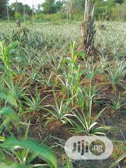 Pineapple Suckers For Sale | Feeds, Supplements & Seeds for sale in Delta State, Aniocha South