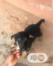 Baby Female Purebred German Shepherd Dog | Dogs & Puppies for sale in Ondo State, Akure