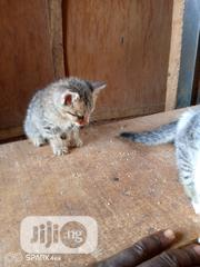 Young Female Purebred American Wirehair | Cats & Kittens for sale in Lagos State, Lagos Mainland