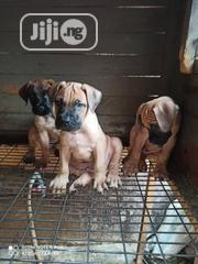 Young Male Purebred Boerboel | Dogs & Puppies for sale in Ogun State, Obafemi-Owode