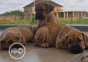 Baby Female Purebred Boerboel | Dogs & Puppies for sale in Ondo State, Akure