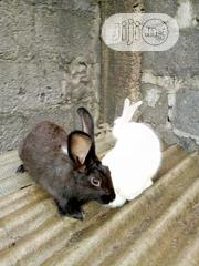 Newzealand Rabbits | Livestock & Poultry for sale in Lagos State, Ikotun/Igando