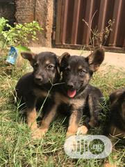 Young Female Purebred German Shepherd Dog | Dogs & Puppies for sale in Lagos State, Alimosho
