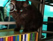 Young Female Purebred Persian | Cats & Kittens for sale in Lagos State, Alimosho