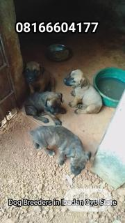 Baby Male Purebred Boerboel | Dogs & Puppies for sale in Oyo State, Ona-Ara