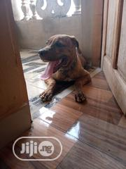 Young Male Purebred Boerboel | Dogs & Puppies for sale in Ogun State, Abeokuta South