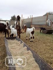 Damascus Goats   Livestock & Poultry for sale in Kano State, Kano Municipal