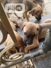 Baby Female Mixed Breed Boerboel | Dogs & Puppies for sale in Lagos State, Oshodi-Isolo