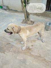 Adult Male Purebred Boerboel | Dogs & Puppies for sale in Ogun State, Ado-Odo/Ota