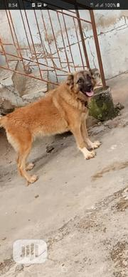 Adult Female Purebred Caucasian Shepherd Dog | Dogs & Puppies for sale in Oyo State, Ibadan