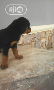 Baby Male Purebred Rottweiler | Dogs & Puppies for sale in Ogun State, Abeokuta South