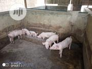 Hybrid Weaners | Livestock & Poultry for sale in Osun State, Osogbo