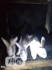 Dutch/New Zealand Cross | Livestock & Poultry for sale in Lagos State, Ajah