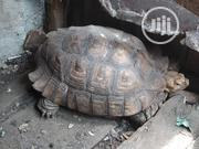 Premium Big Tortoise For Sale | Reptiles for sale in Lagos State, Lekki Phase 1