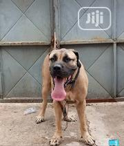 Adult Female Purebred Boerboel | Dogs & Puppies for sale in Ogun State, Abeokuta North