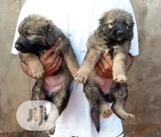 Baby Male Purebred Caucasian Shepherd Dog | Dogs & Puppies for sale in Enugu State, Nsukka