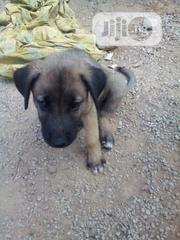 Baby Male Mixed Breed Caucasian Shepherd Dog   Dogs & Puppies for sale in Abuja (FCT) State, Gwagwalada