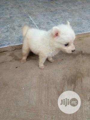 Young Male Purebred American Eskimo Dog