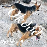 Adult Male Purebred German Shepherd Dog   Dogs & Puppies for sale in Ondo State, Akure
