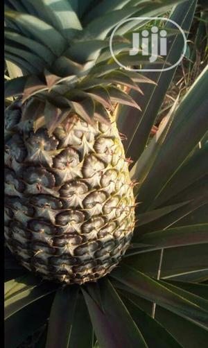 Make Above 4 Million Yearly From One Acre Of Pineapple Farm