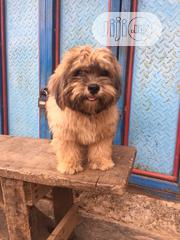 Young Male Purebred Lhasa Apso | Dogs & Puppies for sale in Lagos State, Alimosho