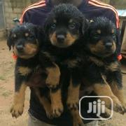 Young Male Purebred Rottweiler | Dogs & Puppies for sale in Bayelsa State, Sagbama