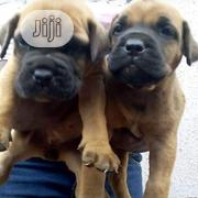 Young Male Purebred Boerboel | Dogs & Puppies for sale in Lagos State, Oshodi-Isolo