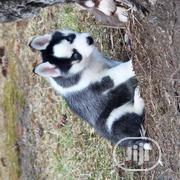 Young Male Purebred Siberian Husky | Dogs & Puppies for sale in Bayelsa State, Sagbama