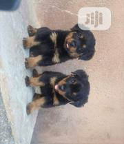 Young Male Purebred German Shepherd Dog | Dogs & Puppies for sale in Bayelsa State, Sagbama