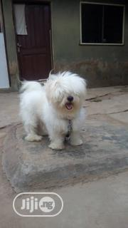 Adult Male Purebred Lhasa Apso | Dogs & Puppies for sale in Oyo State, Ibadan