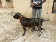 Adult Female Purebred Boerboel | Dogs & Puppies for sale in Oyo State, Ibadan