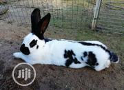Angaro Rabbit   Livestock & Poultry for sale in Kano State, Fagge