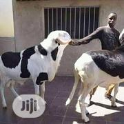 Malain Sheep   Livestock & Poultry for sale in Kano State, Fagge