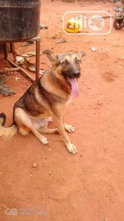 Adult Male Purebred German Shepherd Dog | Pet Services for sale in Edo State, Benin City