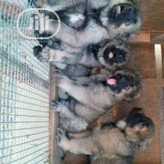 Young Female Purebred Caucasian Shepherd Dog | Dogs & Puppies for sale in Bayelsa State, Sagbama