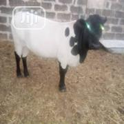 Friesian Simmental Brahma Heifer   Livestock & Poultry for sale in Kano State, Fagge