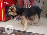 Baby Male Purebred German Shepherd Dog | Dogs & Puppies for sale in Lagos State, Alimosho
