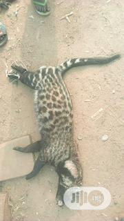 Faloye Number 7 | Other Animals for sale in Ondo State, Akure
