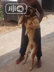 Dogs Stud Services | Pet Services for sale in Oyo State, Ibadan