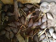 All Types Of Snail For Sale   Other Animals for sale in Lagos State, Ikorodu