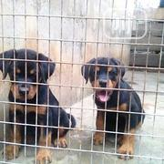 Baby Female Purebred Rottweiler | Dogs & Puppies for sale in Bayelsa State, Yenagoa