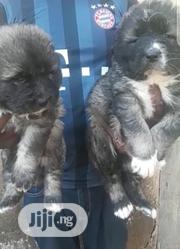 Baby Female Purebred Caucasian Shepherd Dog | Dogs & Puppies for sale in Delta State, Isoko