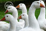 Geese (Birds) | Livestock & Poultry for sale in Oyo State, Ibadan