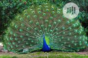 Peacock And Peahen | Birds for sale in Oyo State, Ibadan