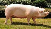 Table Size Pigs | Livestock & Poultry for sale in Oyo State, Ibadan