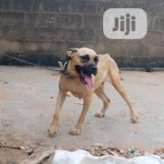 Adult Female Purebred Boerboel | Dogs & Puppies for sale in Oyo State, Oyo