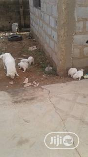 Baby Female Purebred Samoyed | Dogs & Puppies for sale in Ogun State, Abeokuta North