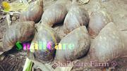 Snails For Sale | Other Animals for sale in Lagos State, Amuwo-Odofin